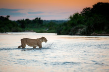 A Lioness, Panthera Leo, With No Tail Walks Across A River, Ears Back, Looking Away, Splashing, Sunset In The Background.