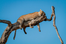 A Leopard, Panthera Pardus, Lies On A Dead Tree Branch, Rests Head On Leg, Closed Eyes, Draped Legs And Tail, Blue Sky Background.