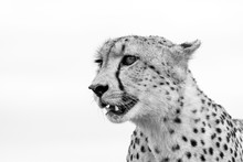 Close Up Cheetah Standing In S...