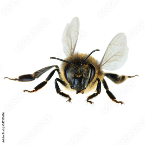 bee isolated on white background
