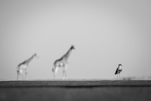A Crowned Lapwing, Vanellus Coronatus, Stands On Level Ground, Two Giraffe, Giraffa Camelopardalis, Stand Blurred In The Background, In Black And White