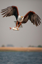 An African Fish Eagle, Haliaeetus Vocifer, Flies Over Water, Claws Holding Onto A Fish, Splashes Of Water In Air