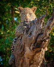 Portrait Of Leopard Lying On Dead Branch