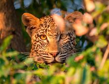 A Leopard's Head, Panthera Pardus, Alert, Looking Through Leaves