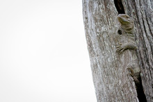A Rock Monitor Lizard, Varanus Albigularis, Hugs A Vertical Dead Tree, Whited Out Background
