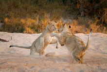 Two Lion Cubs, Panthera Leo, Stand On Their Hind Legs In Sand While Playing, Paws In The Air, Sand In The Air