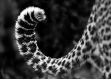 A Leopard's Tail, Panthera Pardus, Curled Up, Dark Rosettes On Fur, In Black And White