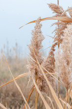 Reeds Yellow And Dry In The Mi...