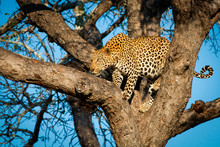 Leopard Standing In Fork Of Tree