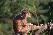 Javanese Langur Monkey  Sitting On A Branch