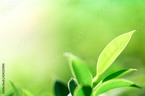 Fototapeta Natural green plants landscape using as a background or wallpaper,Closeup nature view of green leaf in garden at summer under sunlight obraz na płótnie