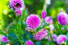 Dahlias Garden In Spring
