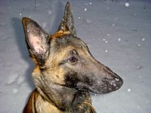 Winter, Spinning And Falling Snow On The Dog's Head. Smart Dog Breed Belgian Shepherd (Malinois)