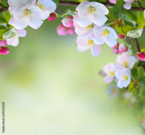 Spring apple blossom on green nature  blurred background