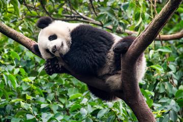 Großer Panda schläft auf einem Baum