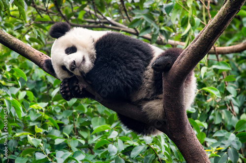 Fotografie, Obraz  Großer Panda schläft auf einem Baum