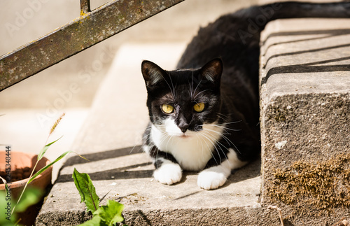 Image De Chat Noir Et Blanc chat noir et blanc mange de l'herbe - buy this stock photo and