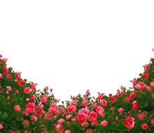 Beautiful Fresh Red Roses Bush...
