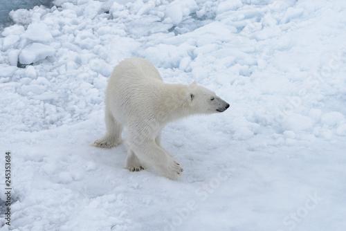 Wall Murals Polar bear Wild polar bear on pack ice in Arctic sea