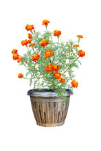 French Marigold Or Calendula Flower  Blossoming In Pot Isolated On White Background With Clipping Path.