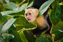 White Faced Capuchin In Nation...