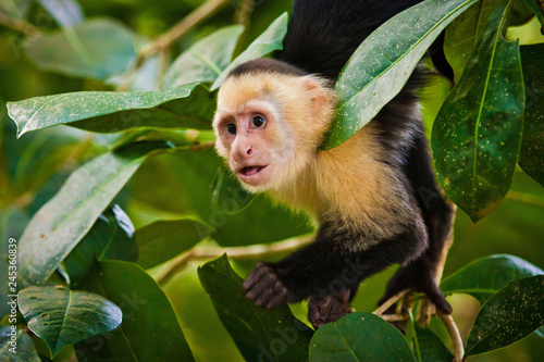 White faced capuchin in national park in Central America Fototapet