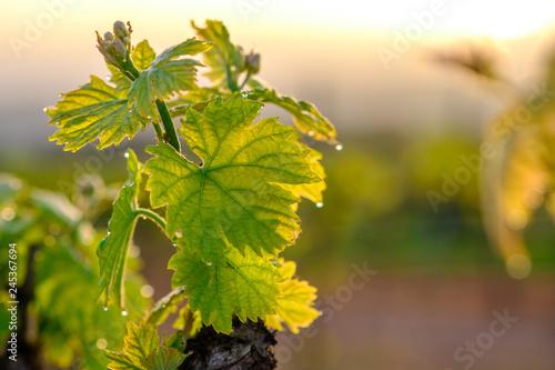 Fotografía Branche de vigne au printemps gros plan. Lever de soleil.