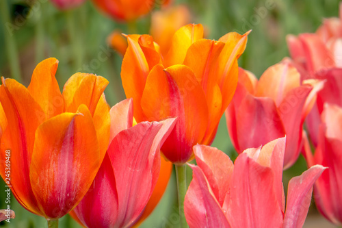 Photo  Colorful and Beautiful Tulips
