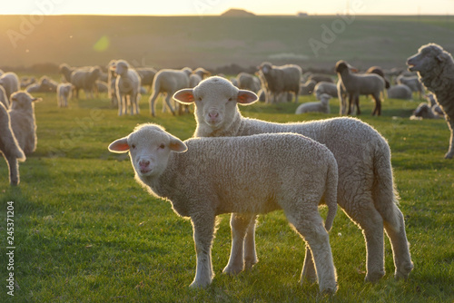 Herd of sheep and lambs