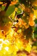 Leinwanddruck Bild - Reife weisse Weintrauben am Weinstock in der Abendsonne