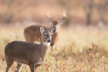 White-tailed Doe And Buck