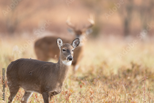 Canvas White-tailed doe and buck