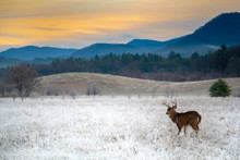 White-tailed Deer Buck In Fros...