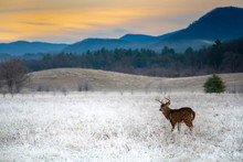 White-tailed Deer Buck In Frosty Field
