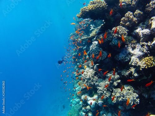 a flock of red coral fish swimming along the reef