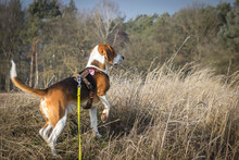 Hunting Dog Shows A Trail Of W...