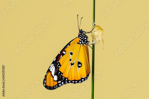 Fototapeta  Amazing moment ,Monarch butterfly emerging from its chrysalis