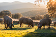 Leinwanddruck Bild - Iberian pigs in the nature eating