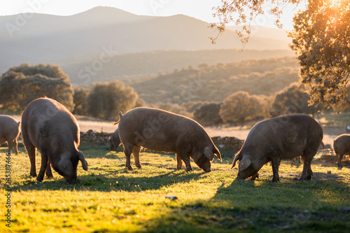 Iberian pigs in the nature eating Canvas