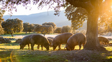 Iberian Pigs In The Nature Eat...