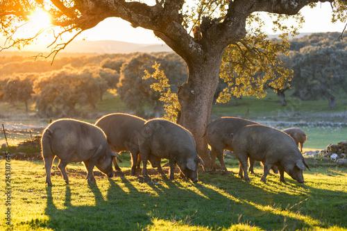 Iberian pigs in the nature eating Fototapeta