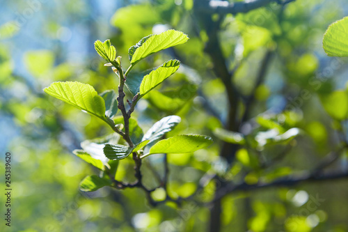 Photo Branch of Alnus glutinosa, the common alder, black alder in spring