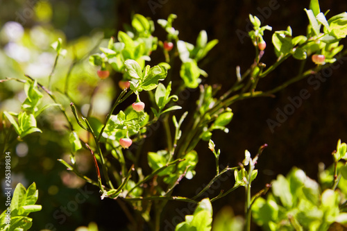 Photo A shrub of European blueberry (Vaccinium uliginosum)  in bloom in the forest in May