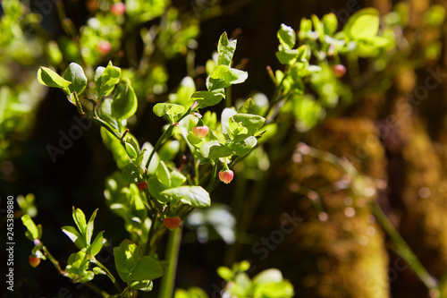 Acrylic Prints Roe A shrub of European blueberry (Vaccinium uliginosum) in bloom in the forest in May. Bushes with Green unripe blueberry in early spring. Wild Young blueberry in blooming.