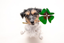 Jack Russell Terrier Dog Is Holding A Four-leaf Clover Lucky Charm And Looking Up