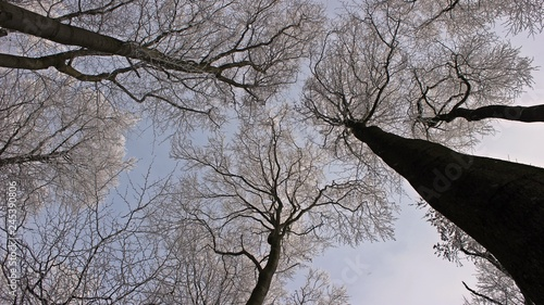 Buchen (Fagus sylvatica) mit Raureif