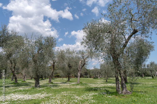 Foto op Canvas Olijfboom Springtime in olive garden