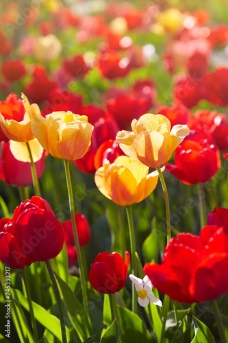 Poster Printemps Group of colorful tulips lit by sunlight. Soft selective focus, tulips close up, toning. Bright colorful tulip photo background