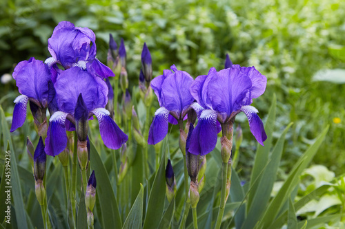 Poster Iris Violet-blue flowers of bearded iris (Iris germanica) on a green background of meadow grasses