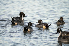 Group Of Northern Pintail Duck...